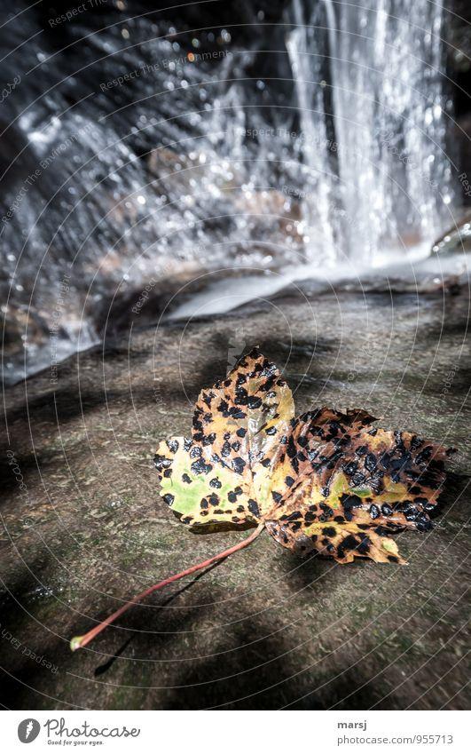 Herbstpocken Natur Blatt Ahornblatt Wasserfall alt mehrfarbig Traurigkeit Trauer Tod Müdigkeit Ende welk Farbfoto Außenaufnahme Menschenleer Textfreiraum oben