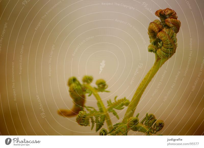 Farn Natur grün Pflanze Sommer Farbe Leben Kraft Wachstum Faust Trieb Echte Farne gedeihen Jungpflanze zusammengerollt