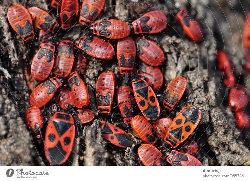 Feuerwanzeninsekten Umwelt Natur Pflanze Tier Baum füttern klein rot schwarz Insekt Wanze Kolonie Flecken Pyrrhocoris apterus viele Lebewesen Lebensraum Rinde