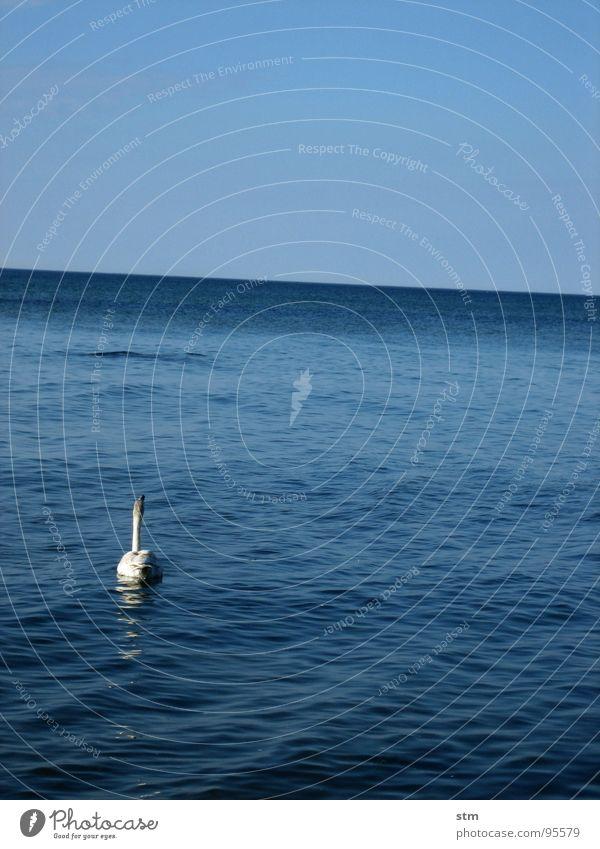 lonely Schwan Meer Horizont Einsamkeit Reflexion & Spiegelung Wellen Freiheit ruhig offen Unendlichkeit See Gelassenheit Sommer weiß elegant Frieden schön