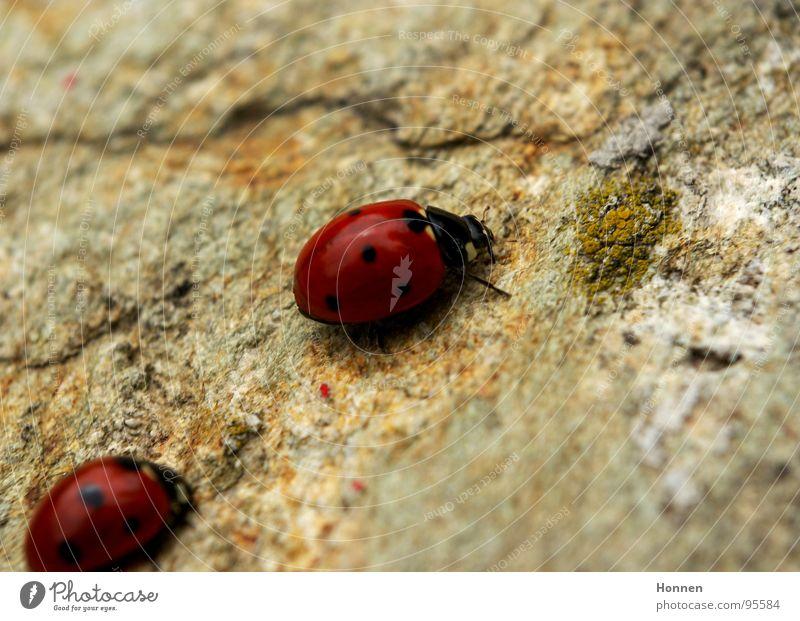Folgen Sie mir unauffällig.... Natur rot schwarz Stein Tierpaar paarweise Insekt Marienkäfer Granit Karavane Siebenpunkt-Marienkäfer