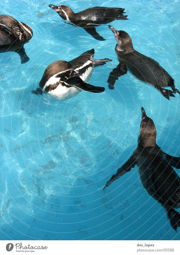 Der Schwarm Wasser Schifffahrt Pinguin Rudel zusammenrotten