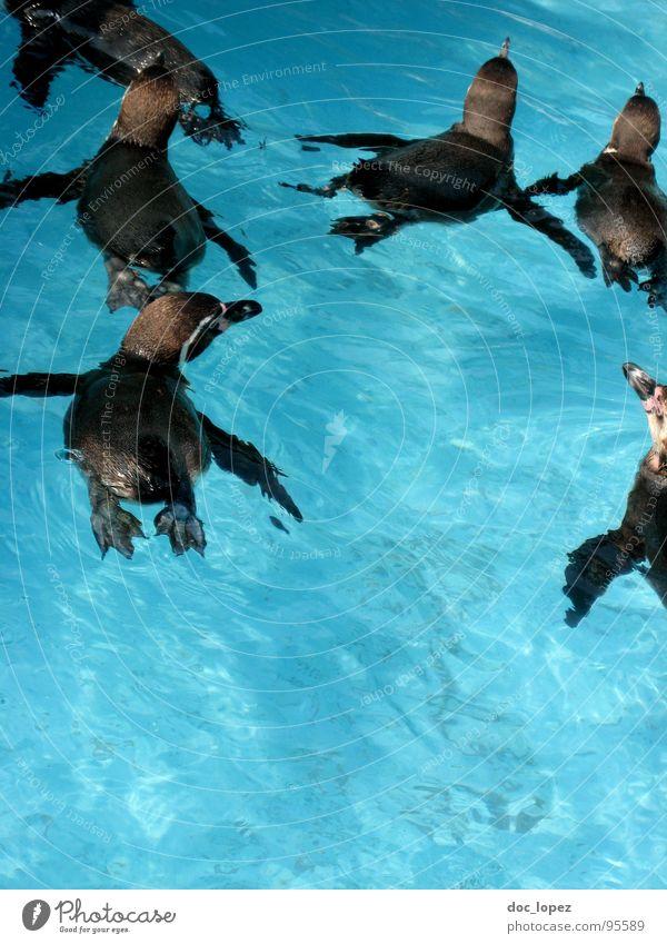 Das Rudel Wasser Vogel Pinguin Schwarm zusammenrotten Beutezug