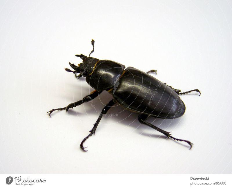 Hirschkäfer schwarz Tier Insekt Käfer krabbeln gepanzert Zange