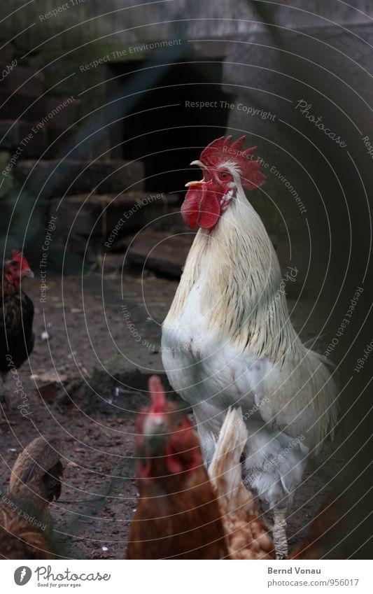 aufstehen! Nutztier Hahn grau rot weiß Krach laut schreien wecken Kamm Schnabel Federvieh Hof Bauernhof Tierhaltung Gehege Haushuhn Stein Gebäude