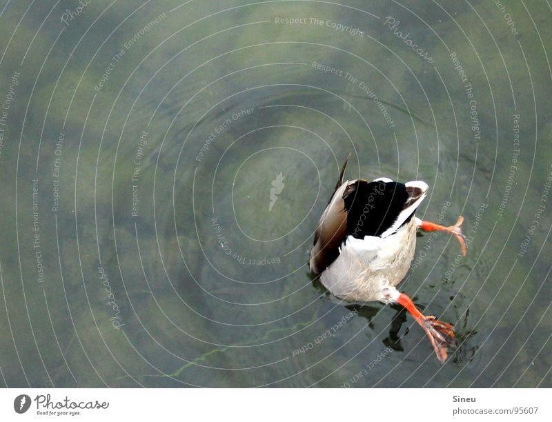 Tauchscheinprüfung ... Erpel Badeente Gesäß Rückseite Abwasserkanal See Baggersee Teich Gartenteich Britzer Garten tauchen Nahrungssuche Handstand Kopfstand