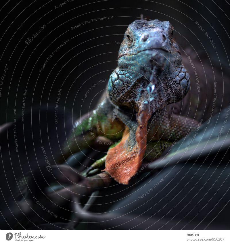 Babo blau rot Tier braun Tiergesicht Vorgesetzter Schuppen Leguane Gummibaum