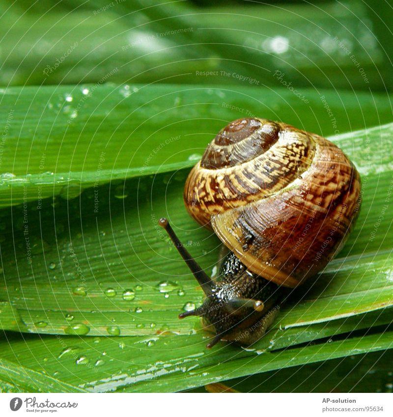 Schnecke *1 Natur grün Tier Haus Auge Leben Gras Regen nass Geschwindigkeit Wassertropfen Lebewesen feucht Spirale Schnecke Glätte