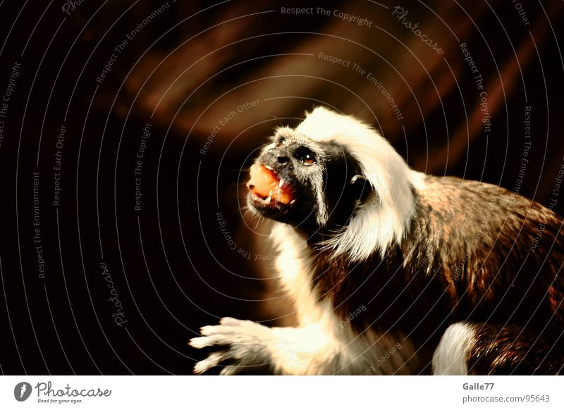 unersättlich Affen Äffchen klein niedlich süß Fressen Ernährung Möhre lecker Appetit & Hunger Säugetier Lebensmittel möhrchen mmmh appetit