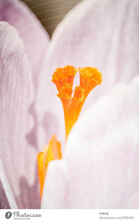 !Trash! | Bitte noch nicht! Natur Pflanze Blüte Frühling orange leuchten einfach einzigartig Neugier Duft Stempel Frühlingsgefühle Wildpflanze Krokusse Pflanzenteile