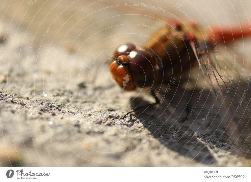 Libelle in der Sonne Natur schön Farbe rot ruhig Tier Umwelt Auge außergewöhnlich braun glänzend orange elegant sitzen ästhetisch Flügel