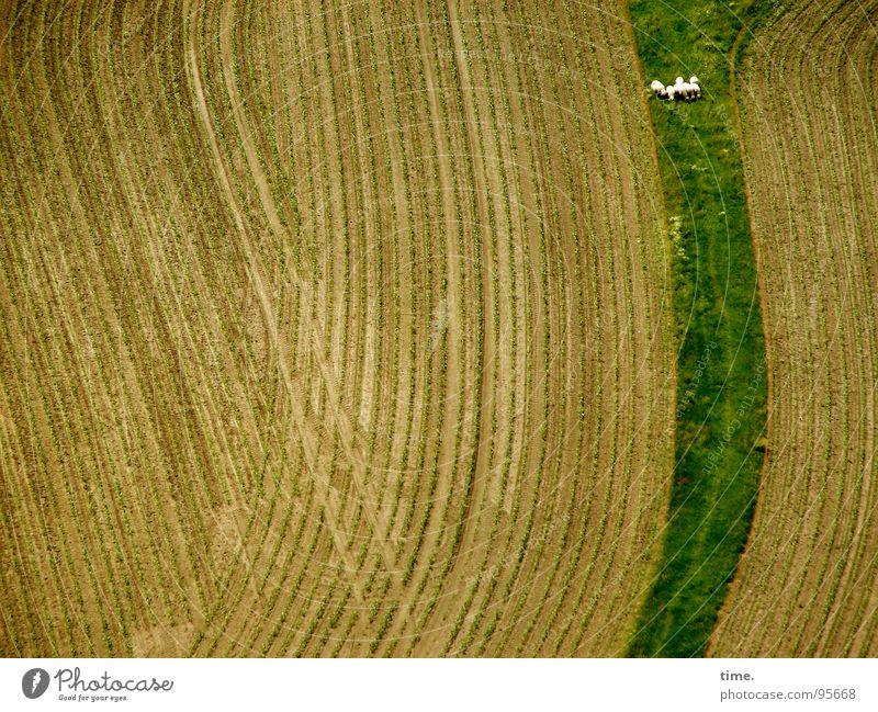 Die Vertreibung der Schäfchen aus dem Paradies Strukturen & Formen Wellen Feld Wege & Pfade grün Ernte spät fließen entgegengesetzt Schaf sanft ausbringen