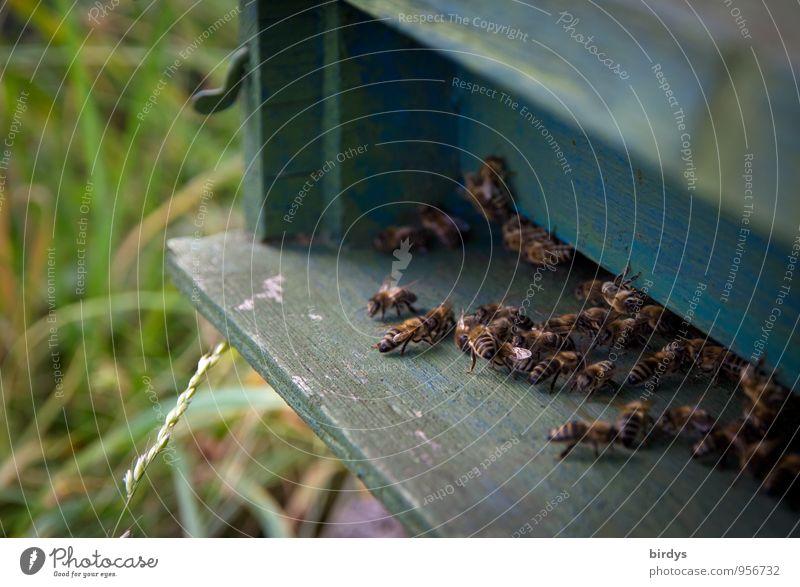 fleißige Bienchen Natur Sommer Bewegung Wiese Arbeit & Erwerbstätigkeit Zusammensein Häusliches Leben Kraft Tiergruppe Sicherheit Zusammenhalt Biene positiv Teamwork krabbeln Ausdauer