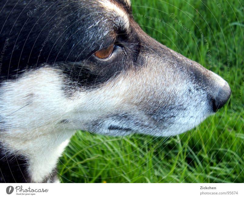 Super-Dog Natur schwarz Auge Tier Garten grau Gras Hund braun Haustier Schnauze Begleiter Mischling