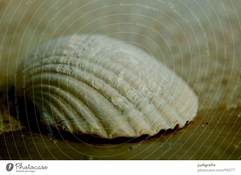 Muschel Kalk Fundstück Herzmuschel Holz Ordnung finden Meer Strand Ferien & Urlaub & Reisen grau Sommer Haus leer hart Makroaufnahme Umwelt Fisch Küste