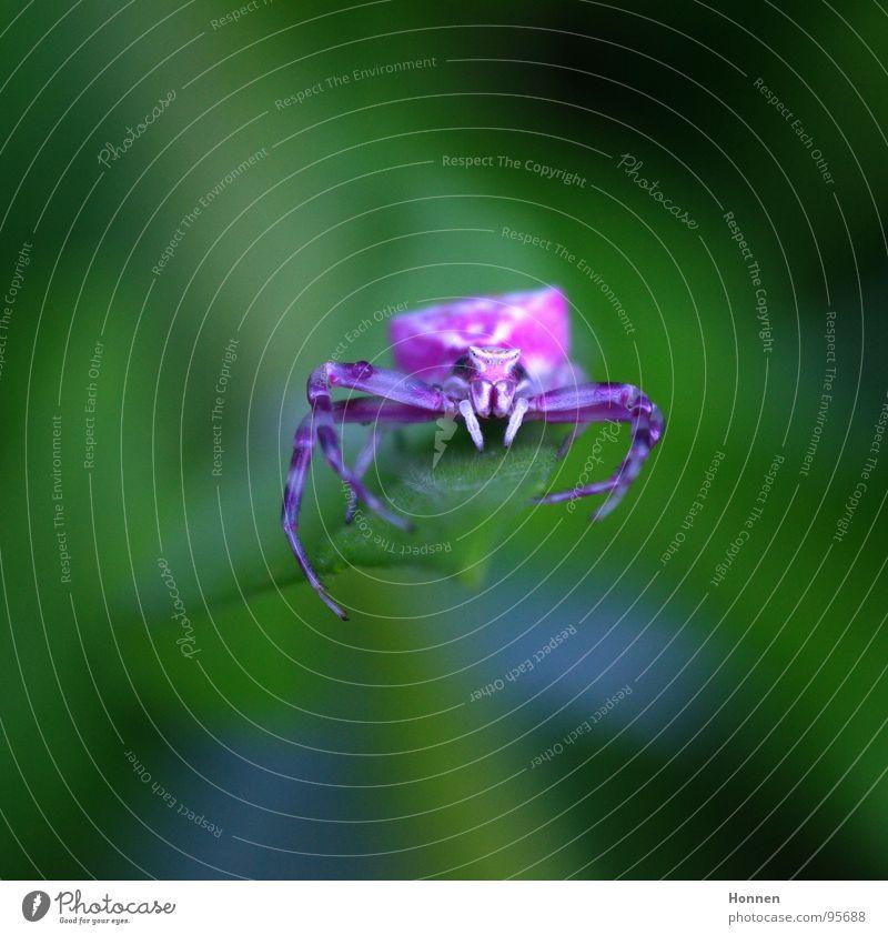 Die will nur spielen...oder? weiß Pflanze Tier Blüte violett Insekt Gift Krallen Kiefer angriffslustig Krabbenspinne Gartenwicke