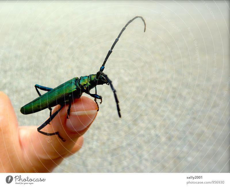 Die Fühler ausstrecken... Finger Fingernagel Fingerkuppe Tier Käfer Insekt 1 entdecken krabbeln sitzen sportlich dünn groß lang Neugier grün Partnerschaft