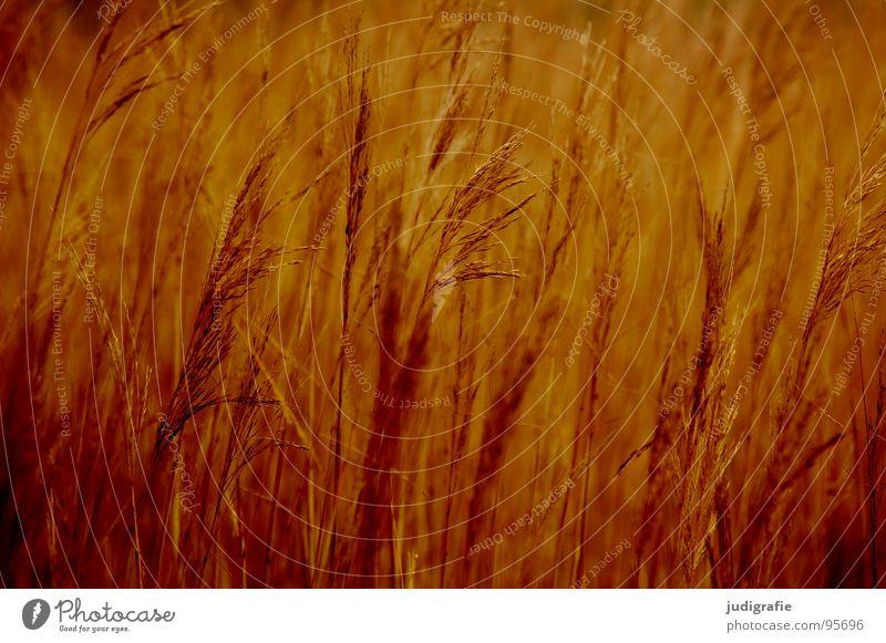 Gras gelb braun Stengel Halm Ähren glänzend schön weich Rauschen Wiese zart beweglich sensibel federartig gold orange Wind Pollen rispe rispen flimmer sanft
