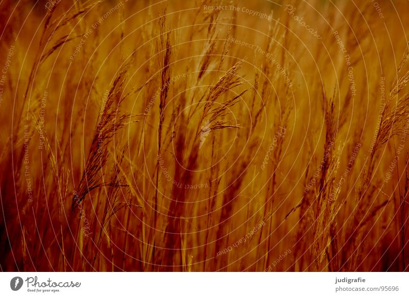 Gras schön gelb Wiese Gras braun orange Wind gold glänzend weich zart Stengel Halm sanft beweglich Pollen