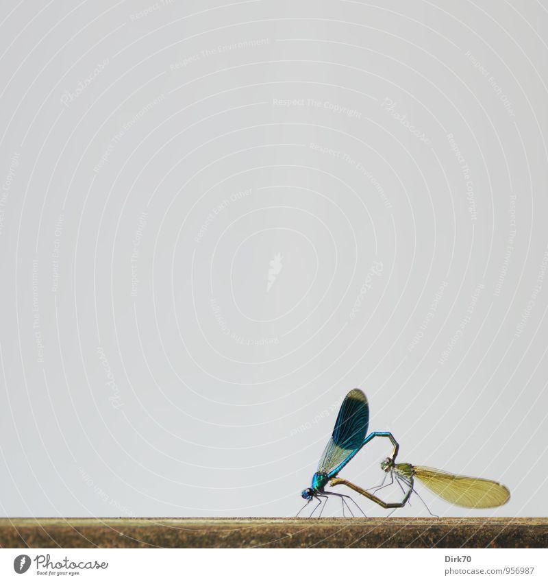Herzlichst ... Umwelt Tier Flügel Insekt Libelle Libellenflügel Prachtlibellen 2 Tierpaar Zeichen Liebe natürlich wild blau braun grau schwarz Freude Glück