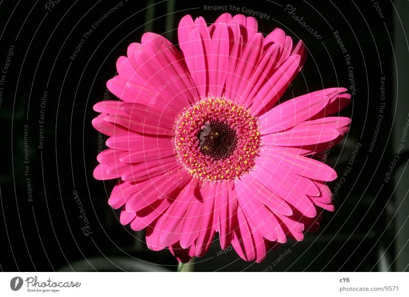 rosa Blume 3 Blüte