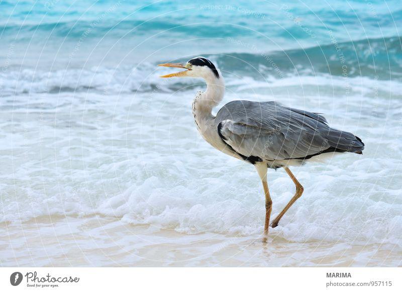Grey Heron at the beach, Maldives Stil exotisch Erholung Ferien & Urlaub & Reisen Strand Meer Insel Natur Tier Sand Wasser Vogel blau grau türkis Wachsamkeit