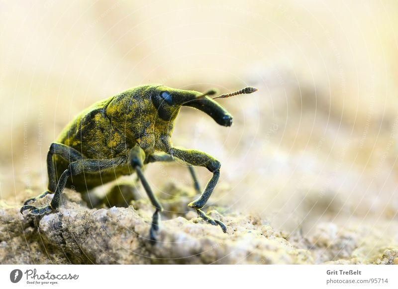 Rüsselkäfer Insekt Tier Wiese Feld Käfer Stein