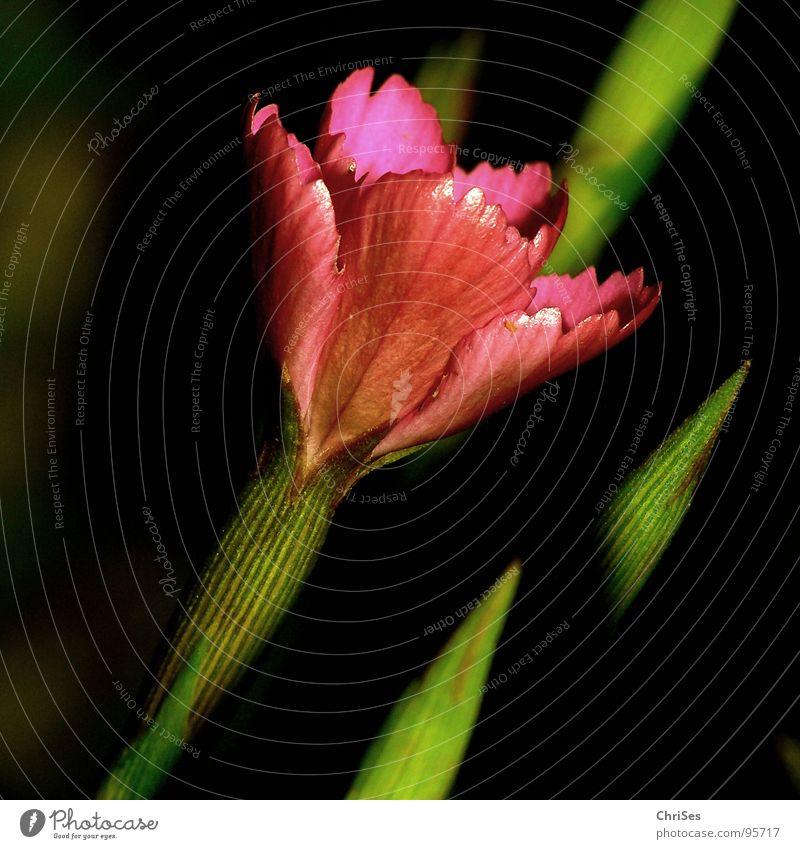 Dianthus_deltoides_Heide_Nelke Heide-Nelke Blume Blüte rot rosa grün schwarz Pflanze Frühling Sommer Beet Stengel Blütenblatt Makroaufnahme Nahaufnahme Garten