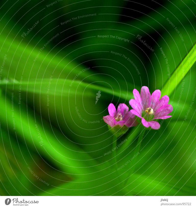Zwei Italienerinnen Natur grün Pflanze Blume ruhig Wiese klein Blüte Garten 2 Kraft rosa Wachstum Idylle Blühend zart