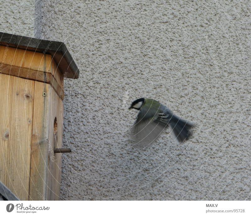 Essen auf Flügeln Wand Frühling Vogel Momentaufnahme füttern Futterhäuschen Meisen Tier
