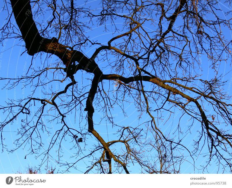 nudistenbaum Himmel Baum blau Winter dunkel Herbst Holz Luft braun Wachstum trist rein Ast Zweig Biologische Landwirtschaft Baumrinde