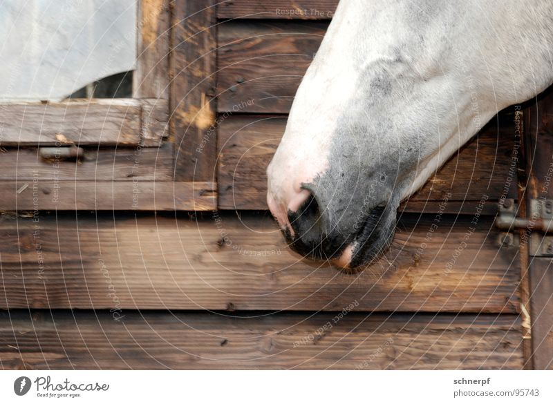 Schnauze Voll weiß Fenster Holz Freizeit & Hobby Nase Pferd Lippen Fell Bauernhof Hütte Geruch Tier Stall Nüstern Reiterhof