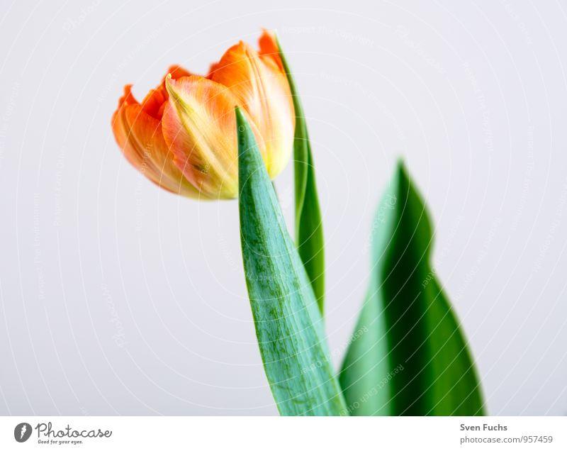 Tulpe Natur Pflanze Blume Blüte Frühling Garten frisch Dekoration & Verzierung Geburtstag Fröhlichkeit ästhetisch Valentinstag Muttertag