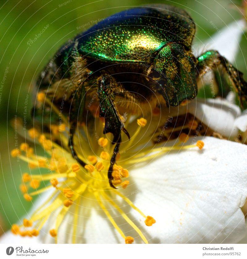 Käfer Ernährung Blüte Tier Insekt Fressen glänzend grün weiß Makroaufnahme Nahaufnahme Brilliance Lebensmittel gold Beine gepanzert fliegen krappeln