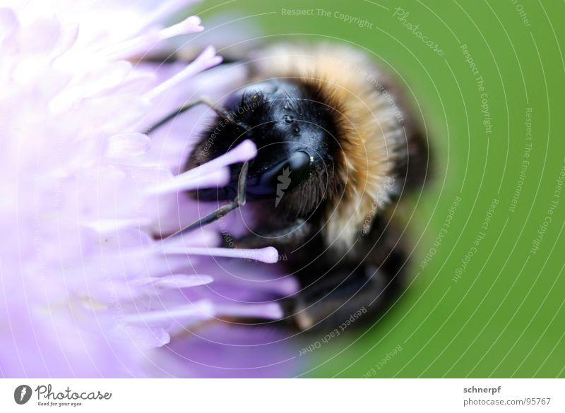 MAAAHLZEIT. grün violett Hummel Insekt Makroaufnahme Blume Wiese Staubfäden saugen Fell Biene Tier Fühler krabbeln mehrfarbig Rüssel Nahaufnahme Mittag Mahlzeit