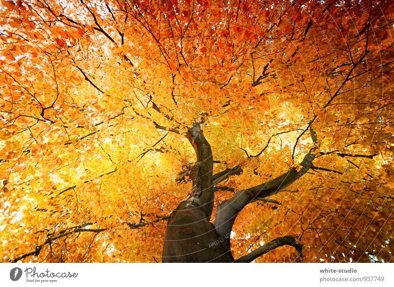 Herbstpracht Baum Blatt Lampe orange gold Gold Ast Baumstamm Baumkrone Herbstlaub herbstlich brennen Stolz rothaarig Abschied