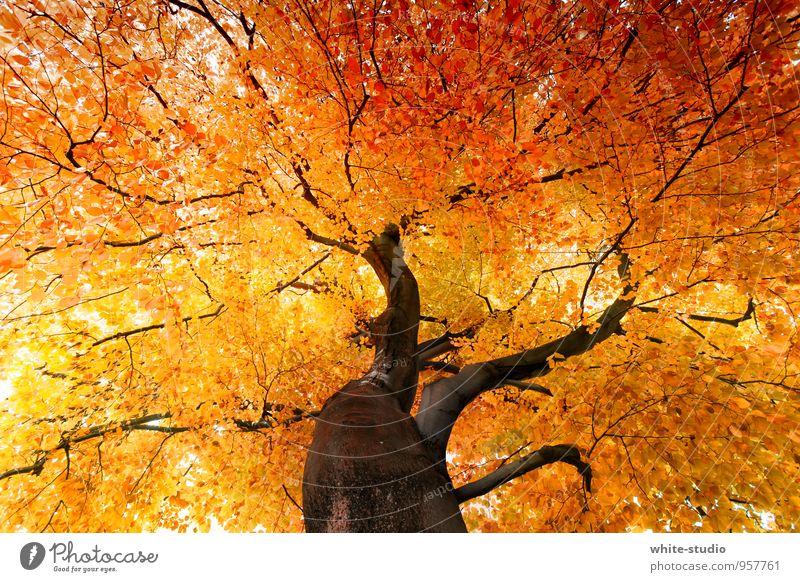 Lebensbaum Natur Baum Blatt Umwelt Herbst Glück braun Zufriedenheit Fröhlichkeit Lebensfreude Baumstamm Baumkrone Vorfreude Herbstlaub herbstlich Begeisterung