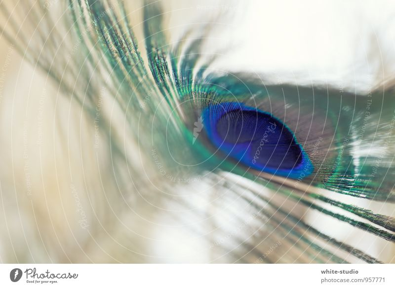 Pfauen Farbenpracht schön mehrfarbig blau türkis Pfauenfeder anmutend Federpracht Schmuck Vogel Pfauenauge Pfauenmaske einzeln Farbfoto Nahaufnahme