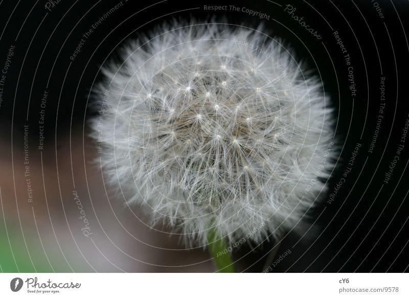 Pusteblume Löwenzahn Wiese Detailaufnahme Natur