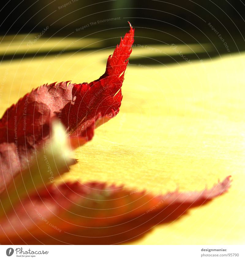 Deutscher Blattbrand Natur rot Pflanze ruhig schwarz gelb Herbst oben Holz Wärme Deutschland Brand gold Physik Vergänglichkeit Flügel