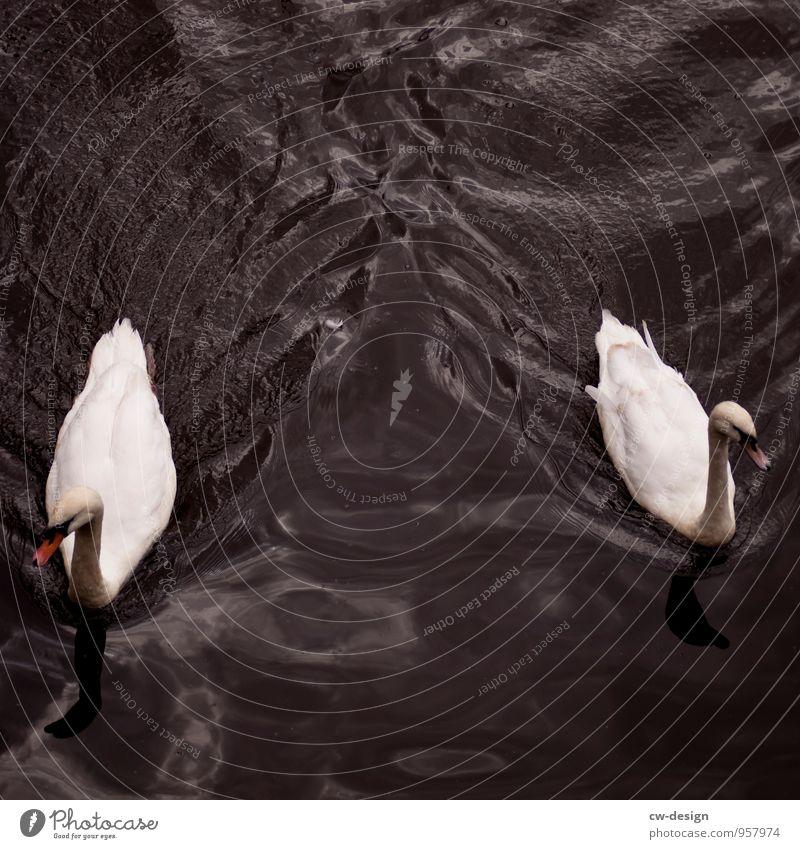 Schwanensee Natur Tier Wasser Seeufer Wildtier 2 Tierpaar Schwimmen & Baden blau weiß Partnerschaft Freiheit Zusammenhalt Farbfoto Außenaufnahme