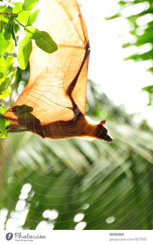 Flying Fox upside down in tree Stil exotisch Ferien & Urlaub & Reisen Natur Tier Baum Blatt Urwald Wildtier braun grün schwarz Wachsamkeit Asien Ast Zweig