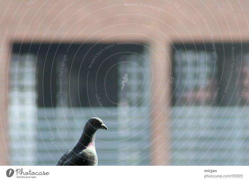 Gerhart is watching you! rot Tier ruhig Haus Fenster träumen Vogel orange Fassade sitzen Luftverkehr Feder Mut Sitzgelegenheit Langeweile Taube