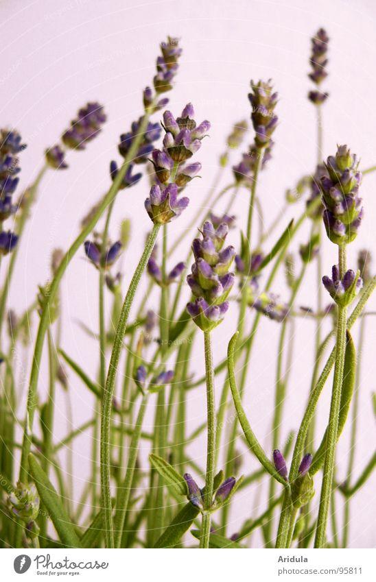 lavendel_02 schön Blume grün Pflanze Sommer Blüte violett Duft sanft Lavendel Parfum Heilpflanzen