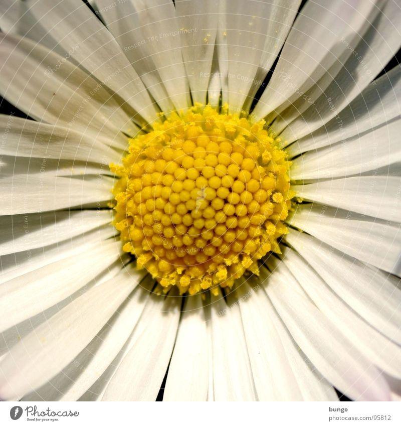 Gar nicht erst anfangen, dann ist die Überraschung größer schön Blume Blüte Wachstum Vergänglichkeit Blühend Gänseblümchen Pollen verblüht Korbblütengewächs