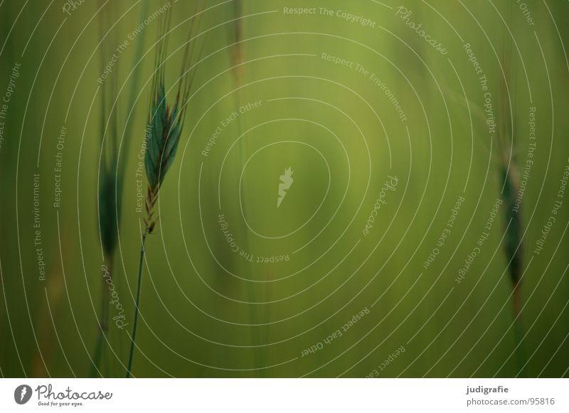 Gras grün schön Pflanze Sommer gelb Wiese glänzend weich zart Weide Stengel Halm sanft beweglich Pollen