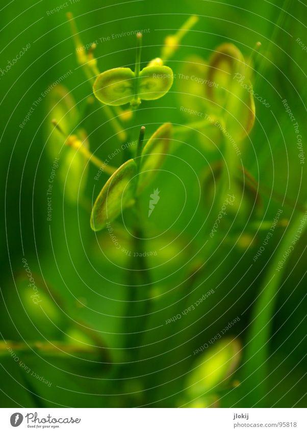 Grünlinge keine Ahnung Pflanze Fortpflanzung Wiese Blume Blüte grün gelb rund Stengel klein Samen Natur