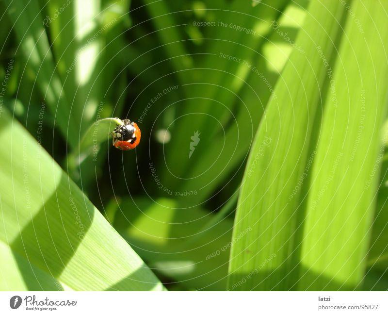 käferli Sonne grün rot Sommer Freude schwarz gelb Ferne Frühling Glück lachen grau klein Insekt Freundlichkeit Marienkäfer