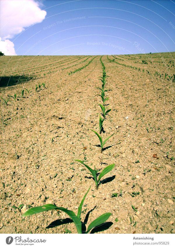 Wer wächst am schnellsten? Sommer Umwelt Natur Landschaft Pflanze Erde Himmel Wolken Horizont Wetter Schönes Wetter Dürre Grünpflanze Nutzpflanze Feld stehen