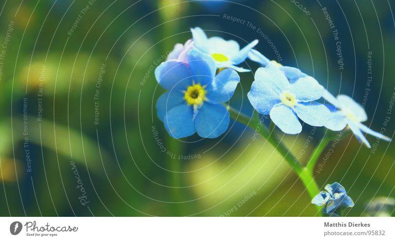VERGISSMEINNICHT blau Sommer Blume gelb Farbe Gefühle Graffiti Blumenstrauß Tiefenschärfe strahlend Vergißmeinnicht gesättigt